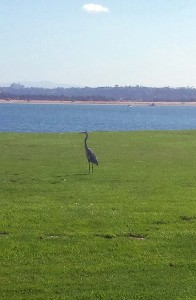 Heron at Crown Point Shores