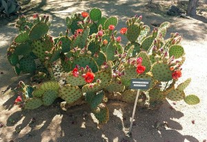 Chenille prickly pear blooms