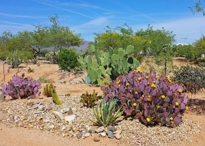 Santa Rita (right) and purple prickly pear (left)