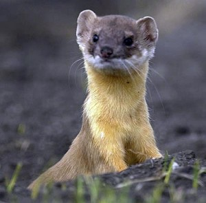 Long tailed weasel - Google file photo