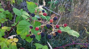 Wild blackberries ripining on the vine