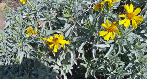 Look closely - you'll see a bee collecting pollen from the brittlebush flower