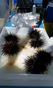 Live sea urchins