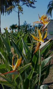 Bird of Paradise flower at the RV park