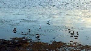 Egrets and rails feeding