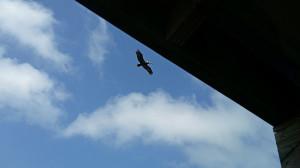 Brown pelican soaring past the platform