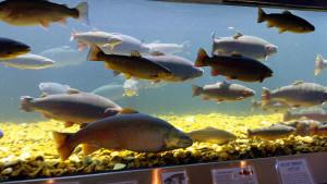 Trout aquarium