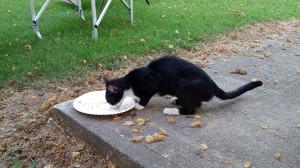 Cat visitor dining on tuna