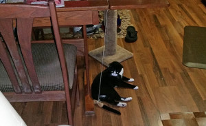 Ozark eyeing the tethered parchment toy