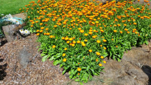 Calendula used in soap